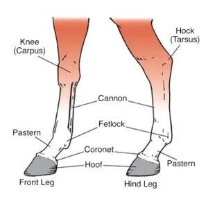 Horse leg diagram