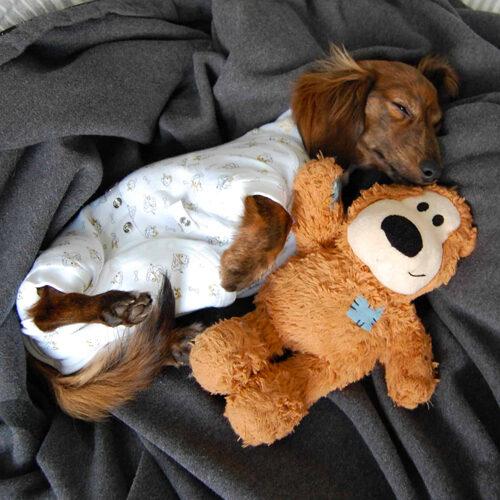 Dog Onesies, model dog, dog showing injury paw, paw bandages, dog onesies, pet bandages, pet supply, pet care, pet store, pawflex, dog bandages, bandages for pet, dog supply, dog health, animal care, animal onesies, pawflex