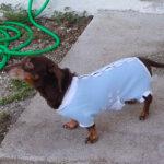 Dachshund Onesies, medical onesies, pawflex, bandages for pets, dog bandages